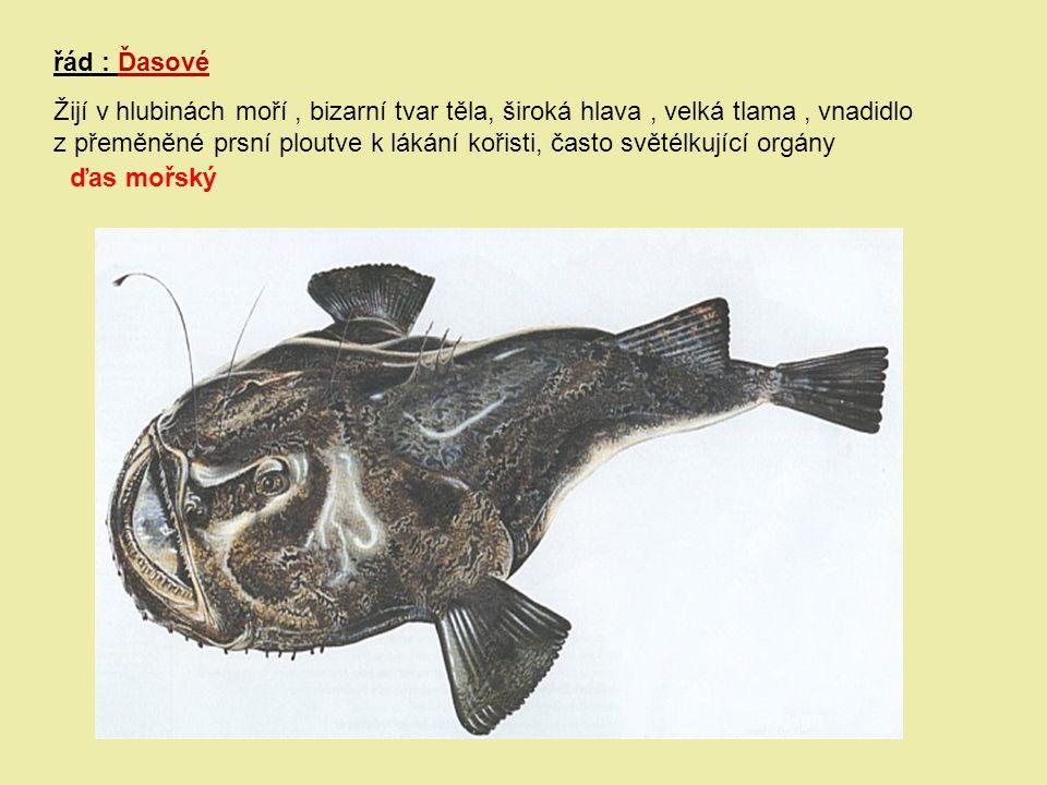 řád : Ďasové Žijí v hlubinách moří, bizarní tvar těla, široká hlava, velká tlama, vnadidlo z přeměněné prsní ploutve k lákání kořisti, často světélkuj