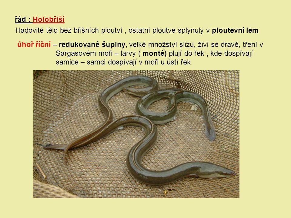 řád : Holobřiší Hadovité tělo bez břišních ploutví, ostatní ploutve splynuly v ploutevní lem úhoř říční – redukované šupiny, velké množství slizu, živ