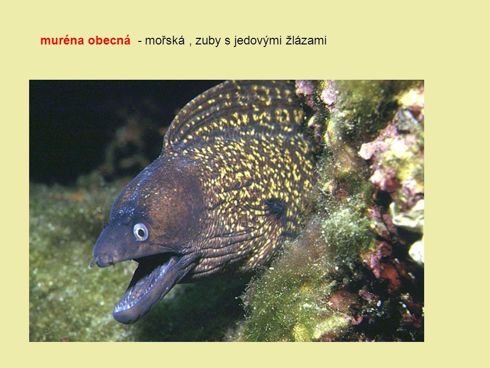 muréna obecná - mořská, zuby s jedovými žlázami