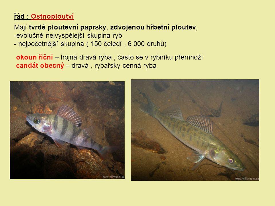 řád : Ostnoploutví Mají tvrdé ploutevní paprsky, zdvojenou hřbetní ploutev, -evolučně nejvyspělejší skupina ryb - nejpočetnější skupina ( 150 čeledí,