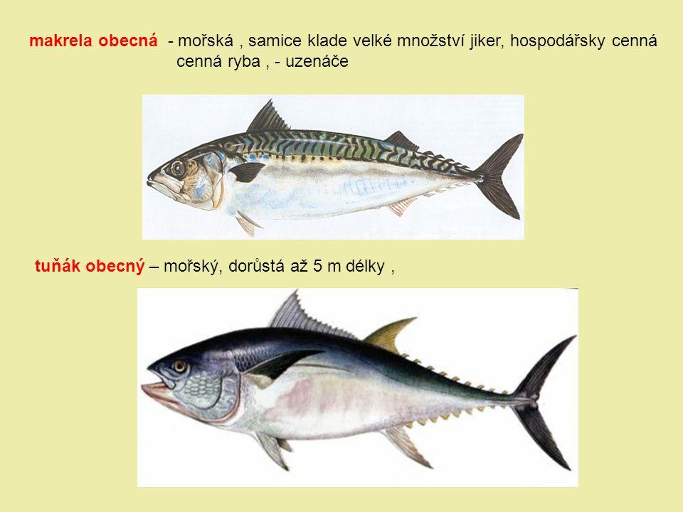 makrela obecná - mořská, samice klade velké množství jiker, hospodářsky cenná cenná ryba, - uzenáče tuňák obecný – mořský, dorůstá až 5 m délky,