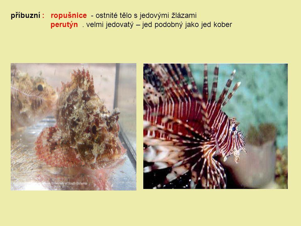 příbuzní : ropušnice - ostnité tělo s jedovými žlázami perutýn. velmi jedovatý – jed podobný jako jed kober