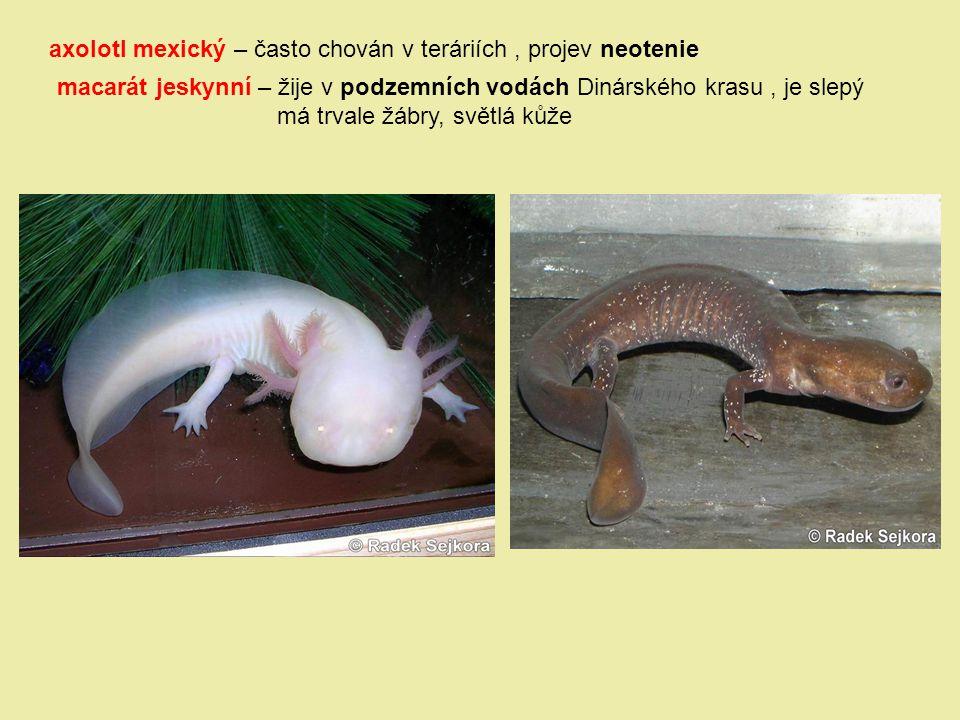 axolotl mexický – často chován v teráriích, projev neotenie macarát jeskynní – žije v podzemních vodách Dinárského krasu, je slepý má trvale žábry, sv