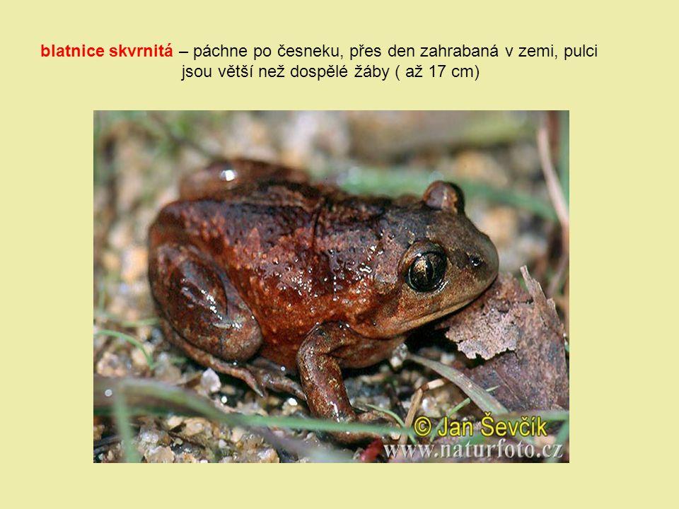 blatnice skvrnitá – páchne po česneku, přes den zahrabaná v zemi, pulci jsou větší než dospělé žáby ( až 17 cm)