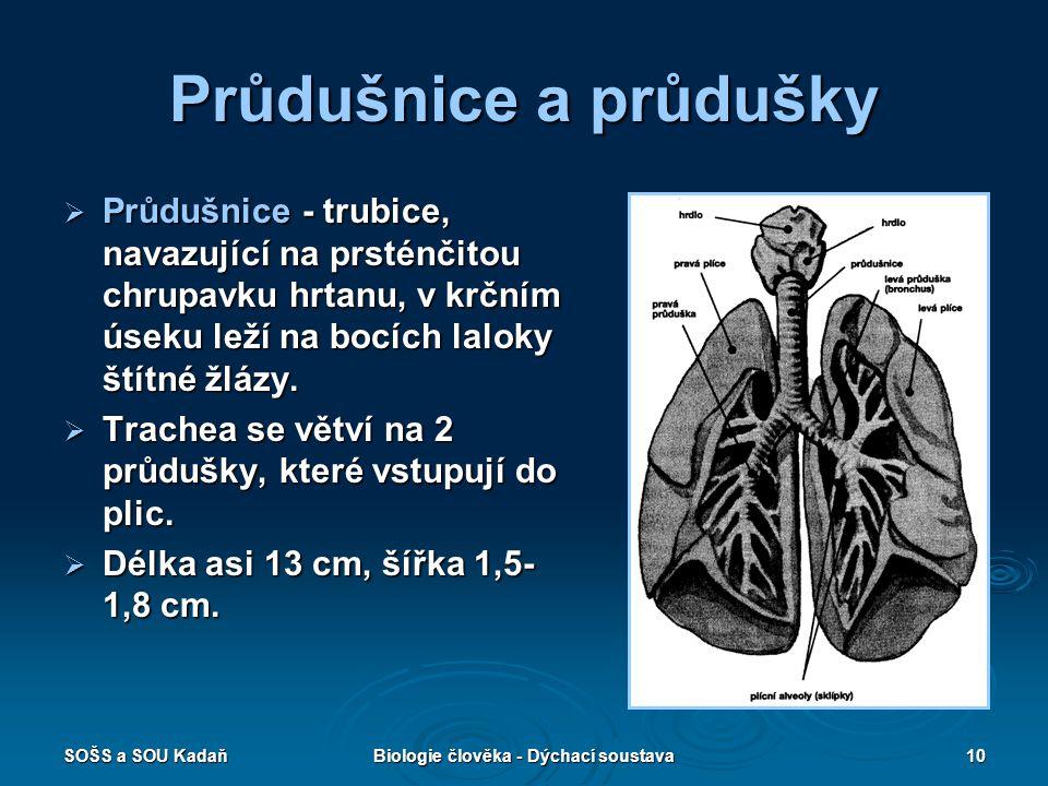 SOŠS a SOU KadaňBiologie člověka - Dýchací soustava10 Průdušnice a průdušky  Průdušnice - trubice, navazující na prsténčitou chrupavku hrtanu, v krčn