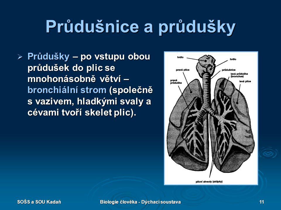 SOŠS a SOU KadaňBiologie člověka - Dýchací soustava11 Průdušnice a průdušky  Průdušky – po vstupu obou průdušek do plic se mnohonásobně větví – bronc