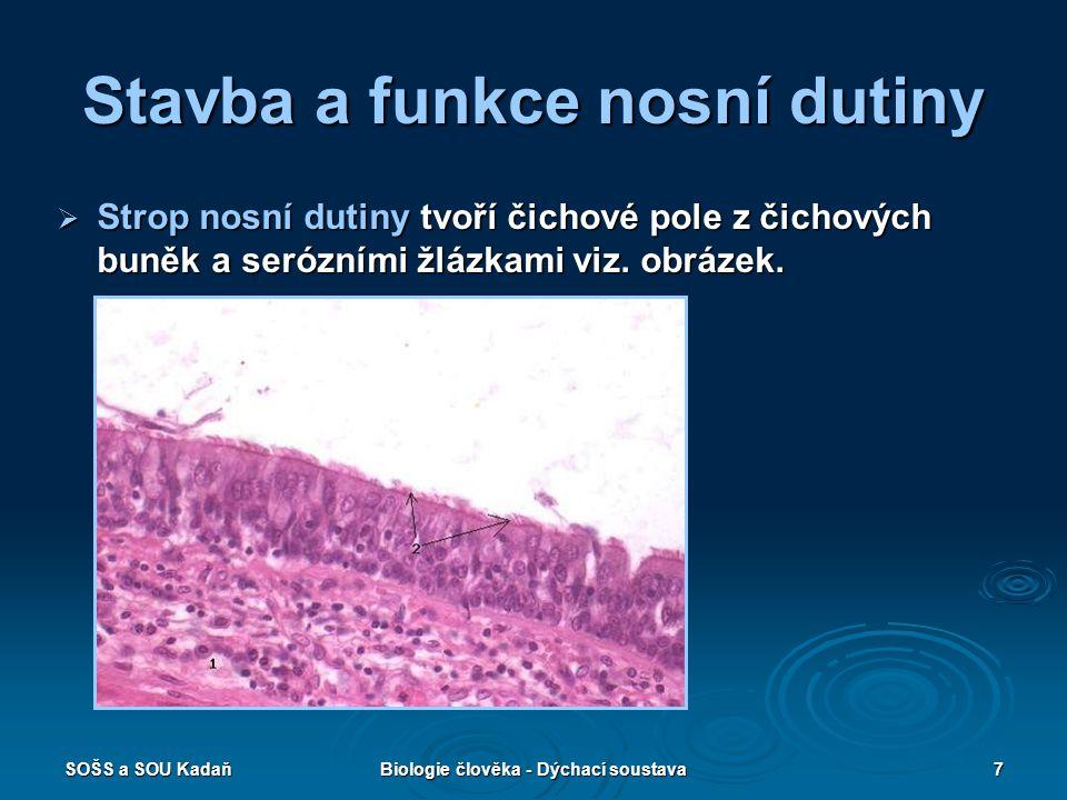 SOŠS a SOU KadaňBiologie člověka - Dýchací soustava7 Stavba a funkce nosní dutiny  Strop nosní dutiny tvoří čichové pole z čichových buněk a serózním