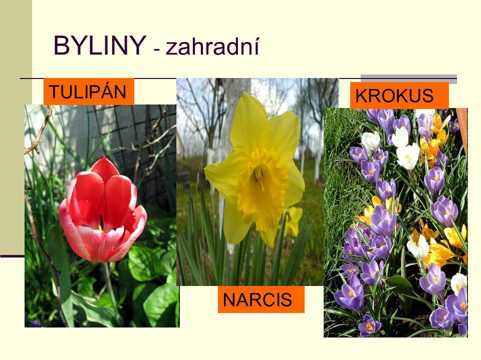 BYLINY - zahradní TULIPÁN KROKUS NARCIS