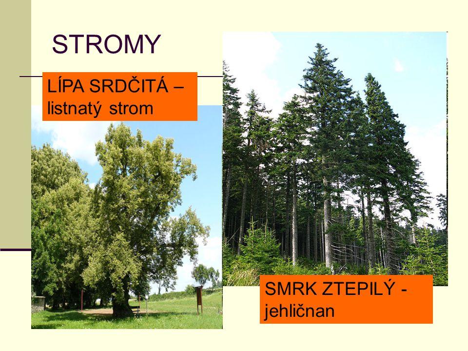 STROMY LÍPA SRDČITÁ – listnatý strom SMRK ZTEPILÝ - jehličnan