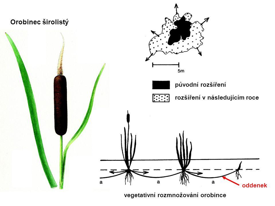 Orobinec širolistý původní rozšíření rozšíření v následujícím roce oddenek vegetativní rozmnožování orobince