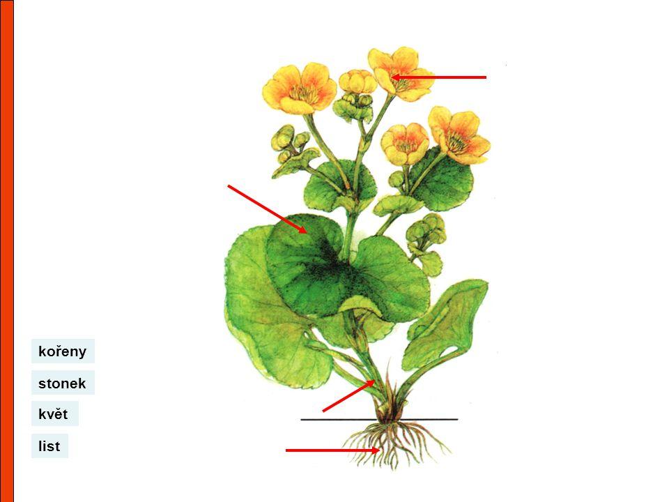 květ list stonek kořeny