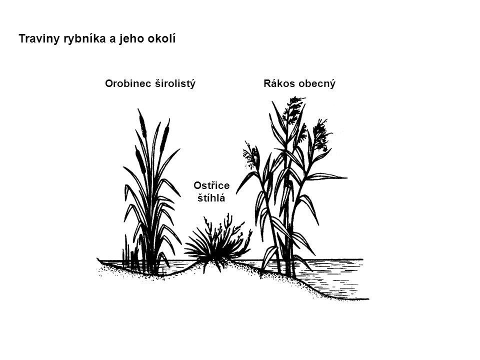 Traviny rybníka a jeho okolí Orobinec širolistý Ostřice štíhlá Rákos obecný