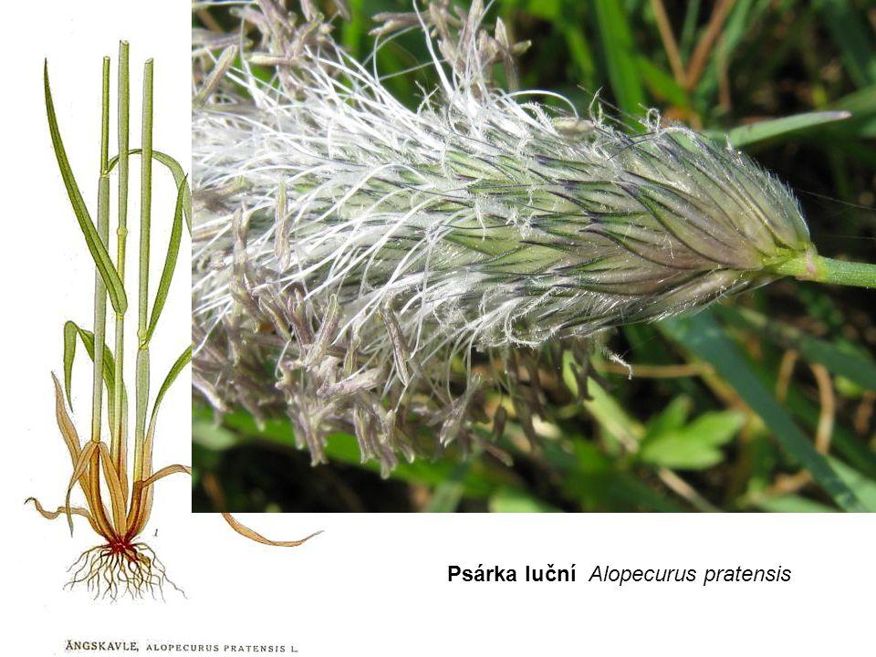 Psárka luční Alopecurus pratensis