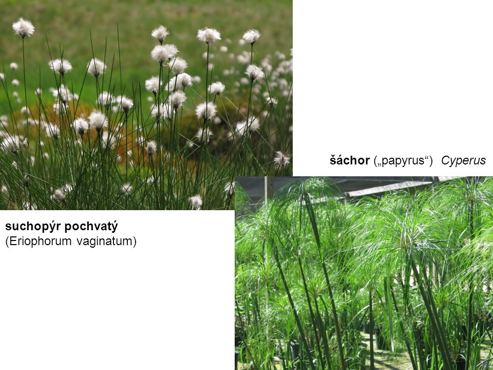 "suchopýr pochvatý (Eriophorum vaginatum) šáchor (""papyrus ) Cyperus"