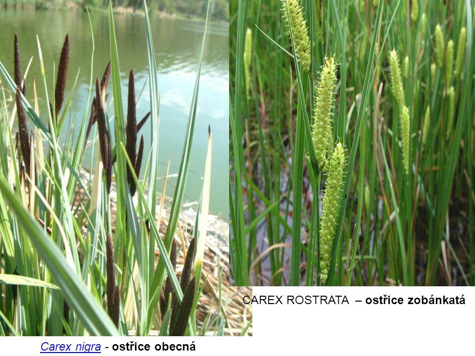 Carex nigraCarex nigra - ostřice obecná CAREX ROSTRATA – ostřice zobánkatá