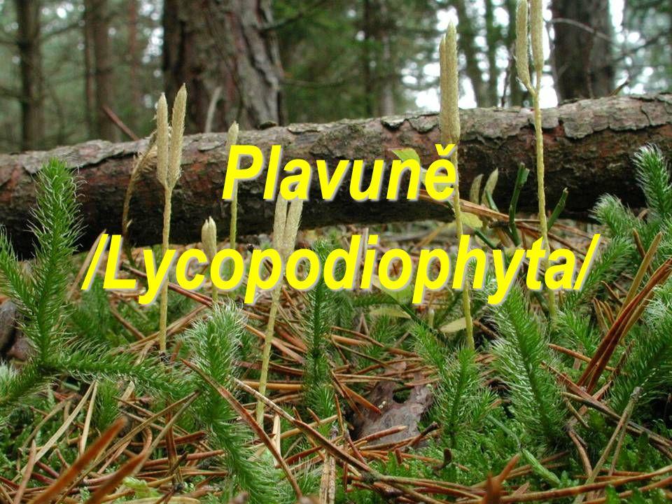 Plavuně /Lycopodiophyta/