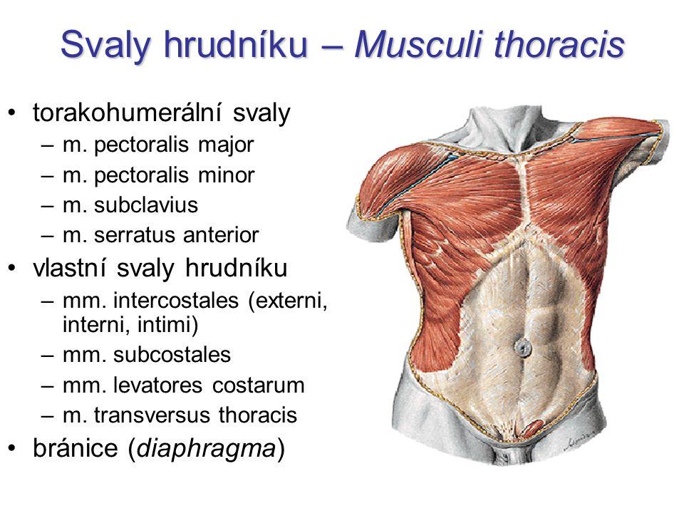 Vlastní svaly hrudníku m.transversus thoracis –na vnitřní straně sterna –výdech –inervace: nn.