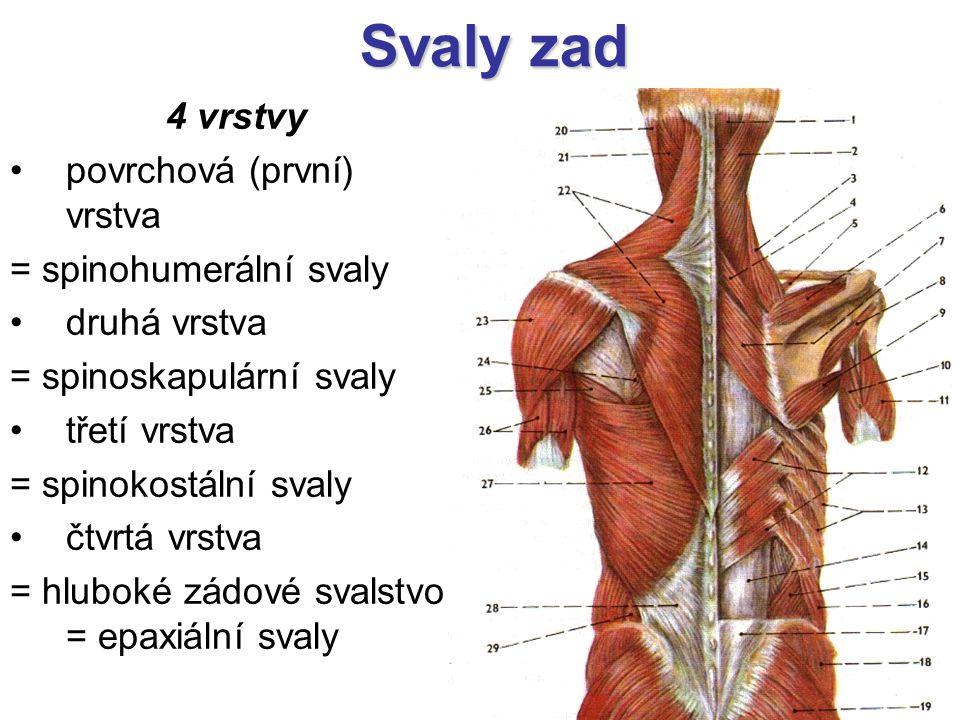 Svaly zad 4 vrstvy povrchová (první) vrstva = spinohumerální svaly druhá vrstva = spinoskapulární svaly třetí vrstva = spinokostální svaly čtvrtá vrstva = hluboké zádové svalstvo = epaxiální svaly