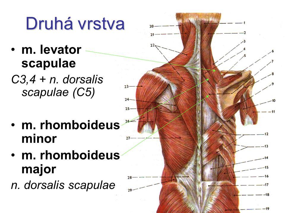 Druhá vrstva m.levator scapulae C3,4 + n. dorsalis scapulae (C5) m.