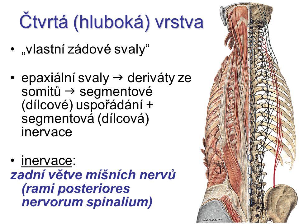 """Čtvrtá (hluboká) vrstva """"vlastní zádové svaly epaxiální svaly  deriváty ze somitů  segmentové (dílcové) uspořádání + segmentová (dílcová) inervace inervace: zadní větve míšních nervů (rami posteriores nervorum spinalium)"""