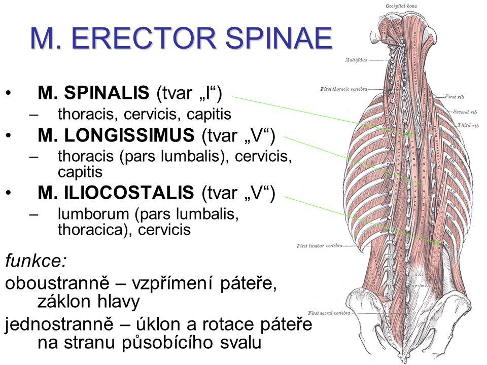 "M.SPINALIS (tvar ""I ) –thoracis, cervicis, capitis M."
