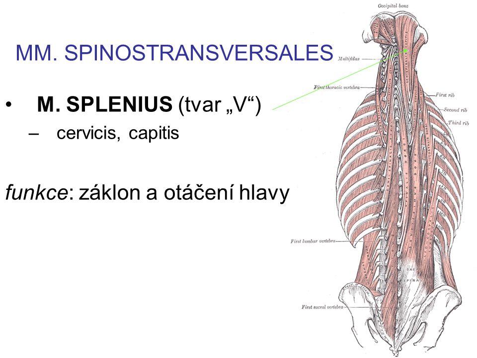 """M. SPLENIUS (tvar """"V ) –cervicis, capitis funkce: záklon a otáčení hlavy MM. SPINOSTRANSVERSALES"""