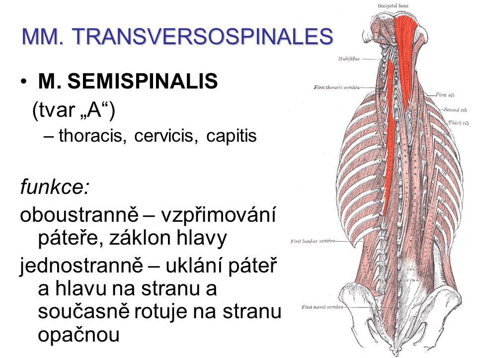 MM.TRANSVERSOSPINALES M.