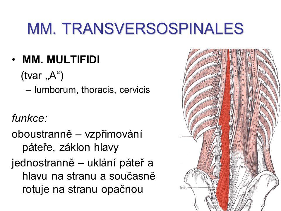 MM.TRANSVERSOSPINALES MM.