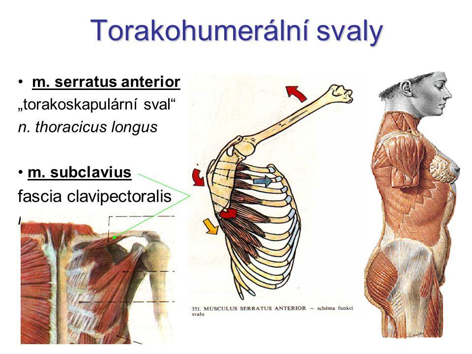 Vývoj svalů epaxialní svaly = autochtonní  hluboké zádové svaly myoseptum horizontale – ryby  lamina media fasciae thoracolumbalis hypaxialní svaly = heterochtonní  všechny ostatní končetiny, hlava, krk, hrudník, břicho + 3 povrchové vrstvy svalů zad