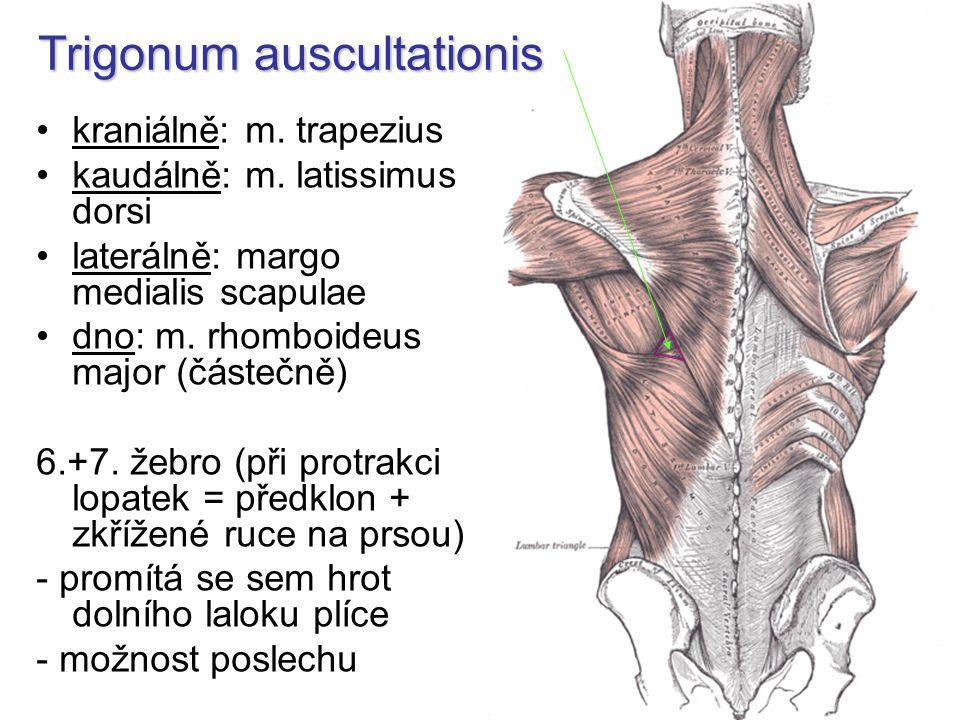 Trigonum auscultationis kraniálně: m.trapezius kaudálně: m.