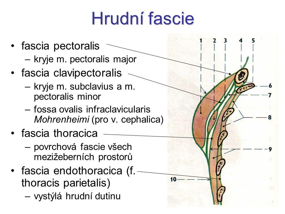 Hrudní fascie fascia pectoralis –kryje m.pectoralis major fascia clavipectoralis –kryje m.