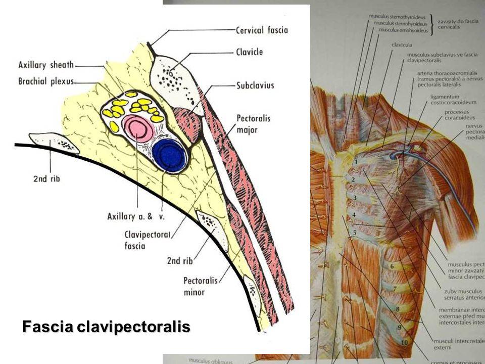 CT lamina media fasciae thoraco- lumbalis epaxialní svaly
