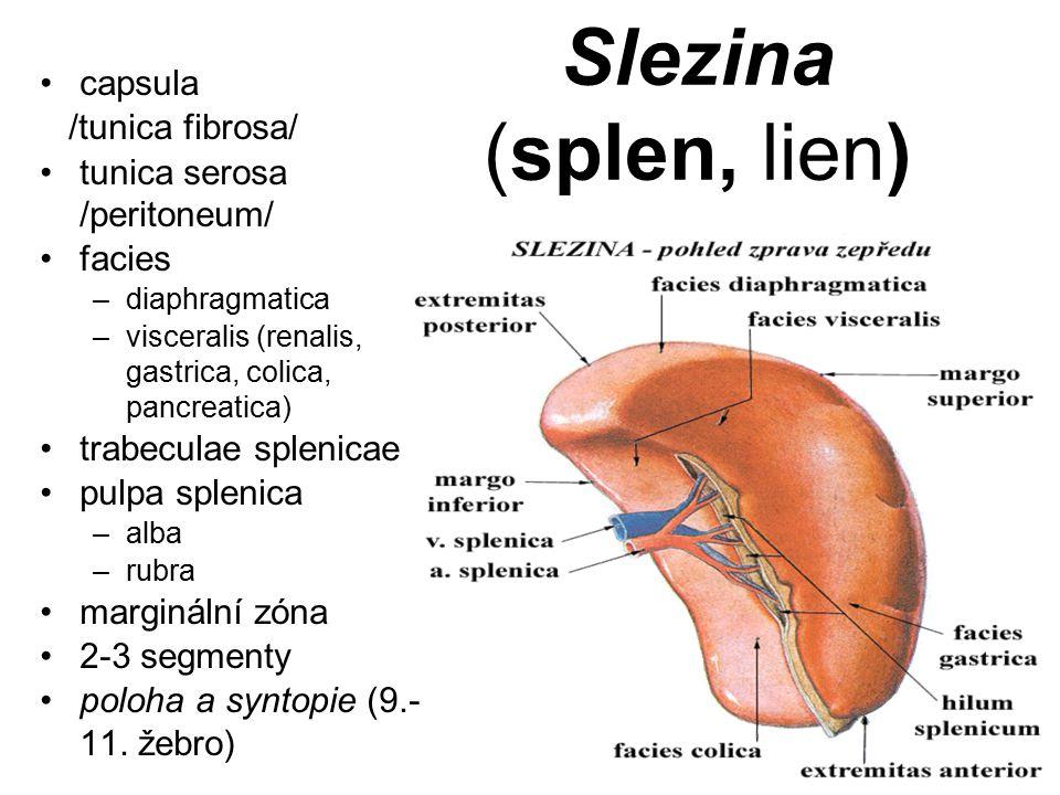 Slezina (splen, lien) capsula /tunica fibrosa/ tunica serosa /peritoneum/ facies –diaphragmatica –visceralis (renalis, gastrica, colica, pancreatica)