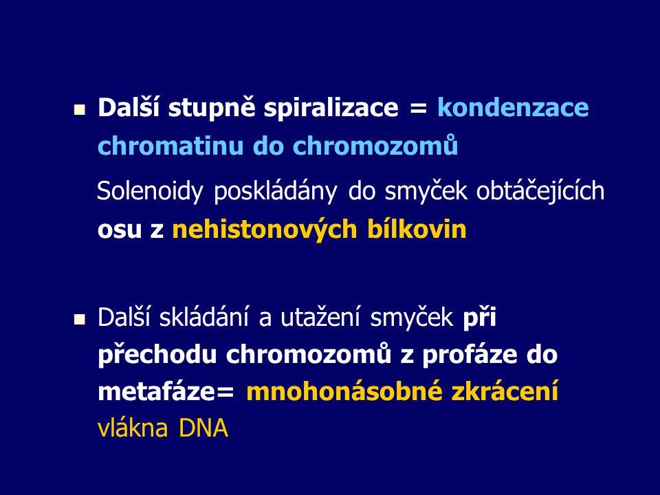 Další stupně spiralizace = kondenzace chromatinu do chromozomů Solenoidy poskládány do smyček obtáčejících osu z nehistonových bílkovin Další skládání