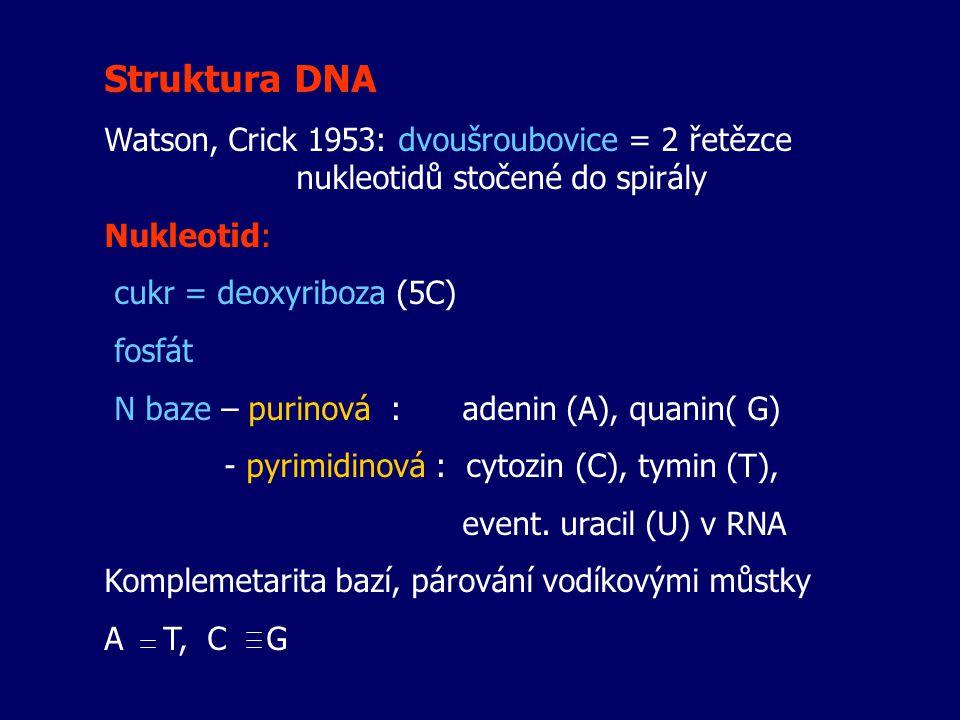 Struktura DNA Watson, Crick 1953: dvoušroubovice = 2 řetězce nukleotidů stočené do spirály Nukleotid: cukr = deoxyriboza (5C) fosfát N baze – purinová