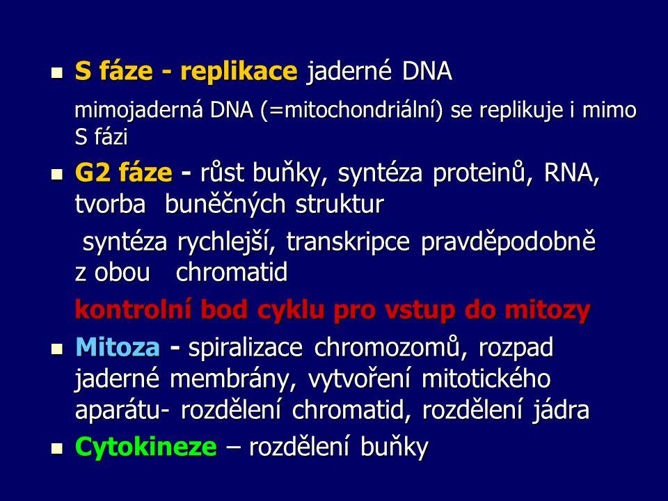 S fáze - replikace jaderné DNA S fáze - replikace jaderné DNA mimojaderná DNA (=mitochondriální) se replikuje i mimo S fázi mimojaderná DNA (=mitochon