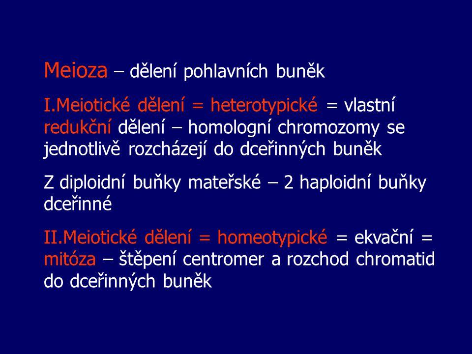 Meioza – dělení pohlavních buněk I.Meiotické dělení = heterotypické = vlastní redukční dělení – homologní chromozomy se jednotlivě rozcházejí do dceři