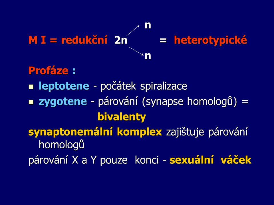 n M I = redukční 2n = heterotypické n Profáze : leptotene - počátek spiralizace leptotene - počátek spiralizace zygotene - párování (synapse homologů)