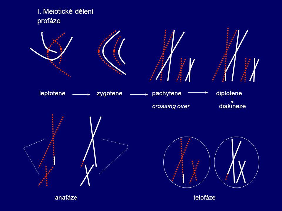 leptotene zygotene pachytene diplotene crossing over diakineze I. Meiotické dělení profáze anafáze telofáze