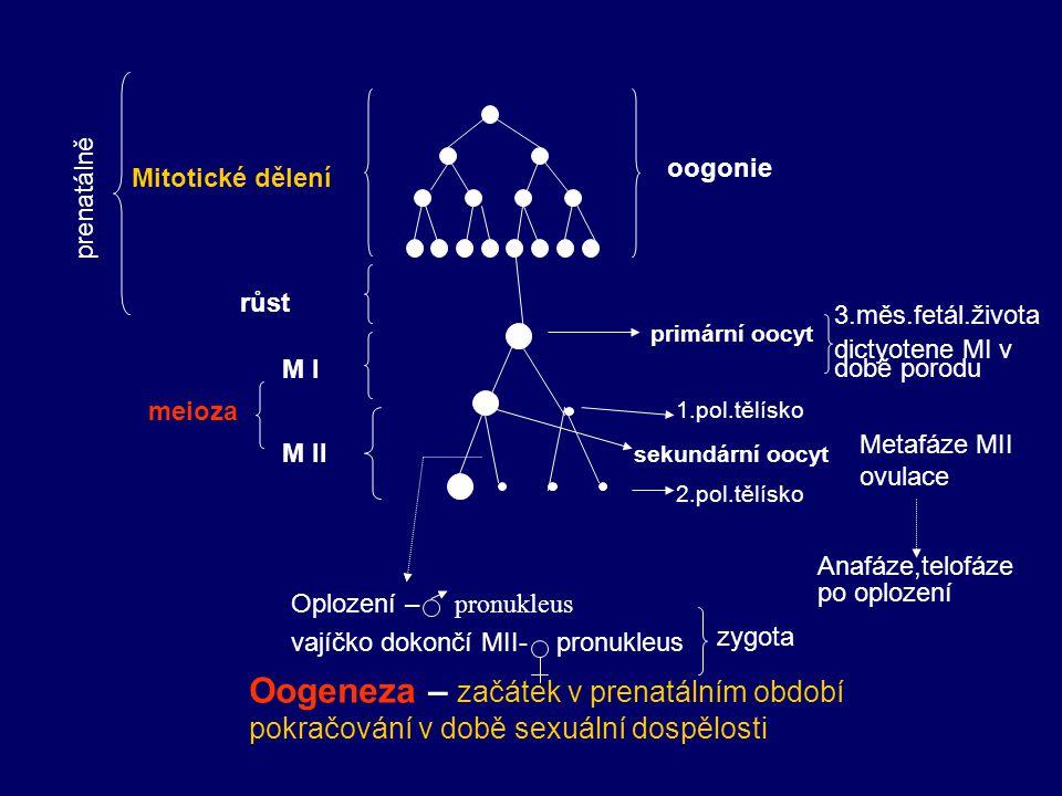 oogonie Mitotické dělení primární oocyt sekundární oocyt růst M I M II meioza Oogeneza – začátek v prenatálním období pokračování v době sexuální dosp