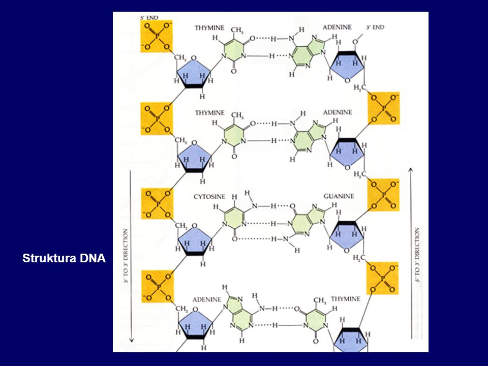 Genetická determinace pohlaví 23,X 23,Y 23,X