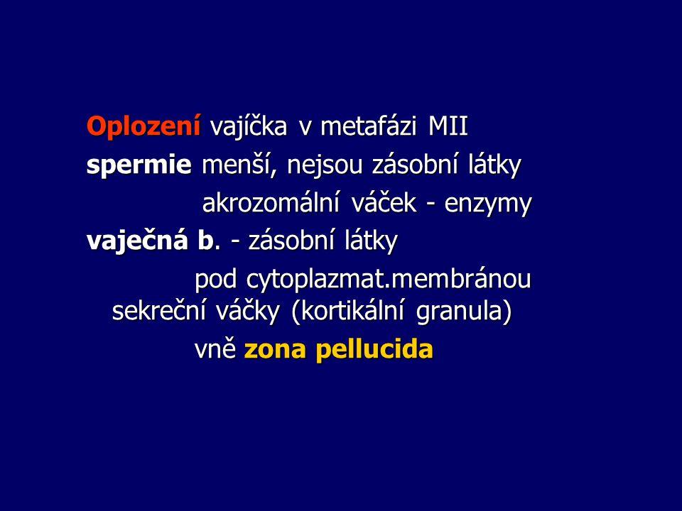 Oplození vajíčka v metafázi MII spermie menší, nejsou zásobní látky akrozomální váček - enzymy akrozomální váček - enzymy vaječná b. - zásobní látky p
