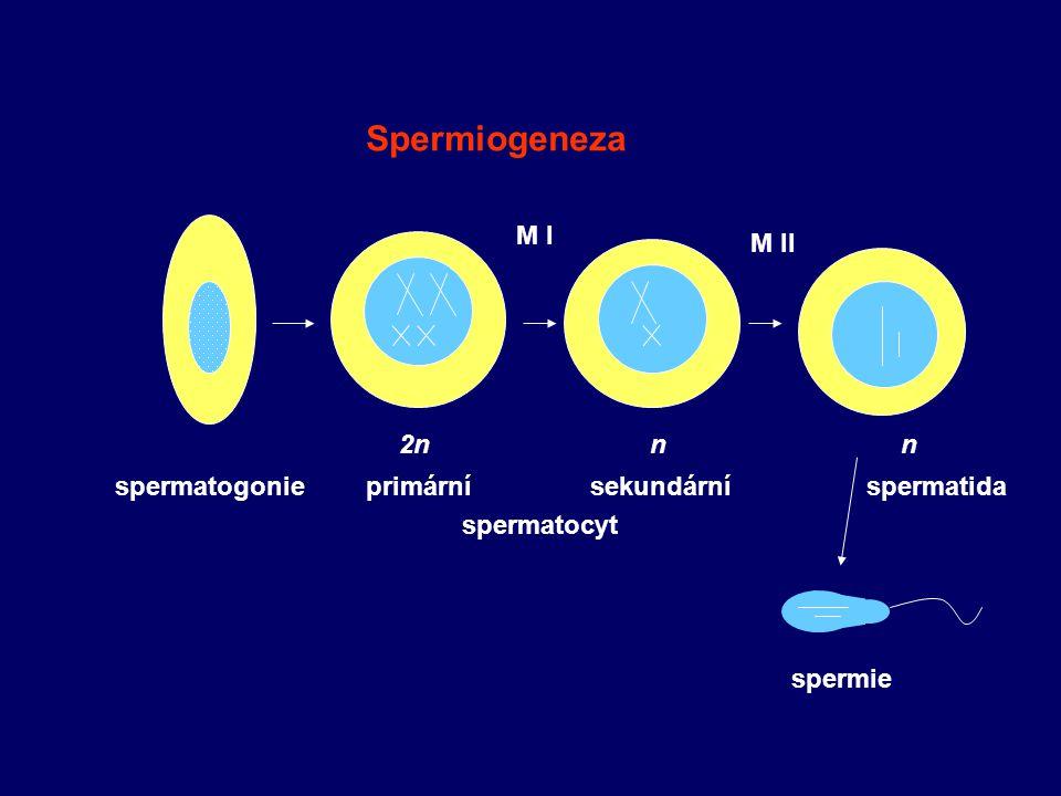 spermatogonie M I M II 2nnn primární sekundární spermatocyt spermatida spermie Spermiogeneza