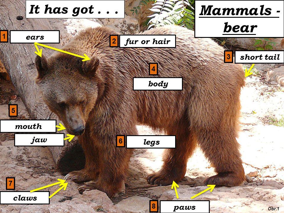 Mammals - bear fur or hair body ears short tail legs claws mouth jaw paws It has got...