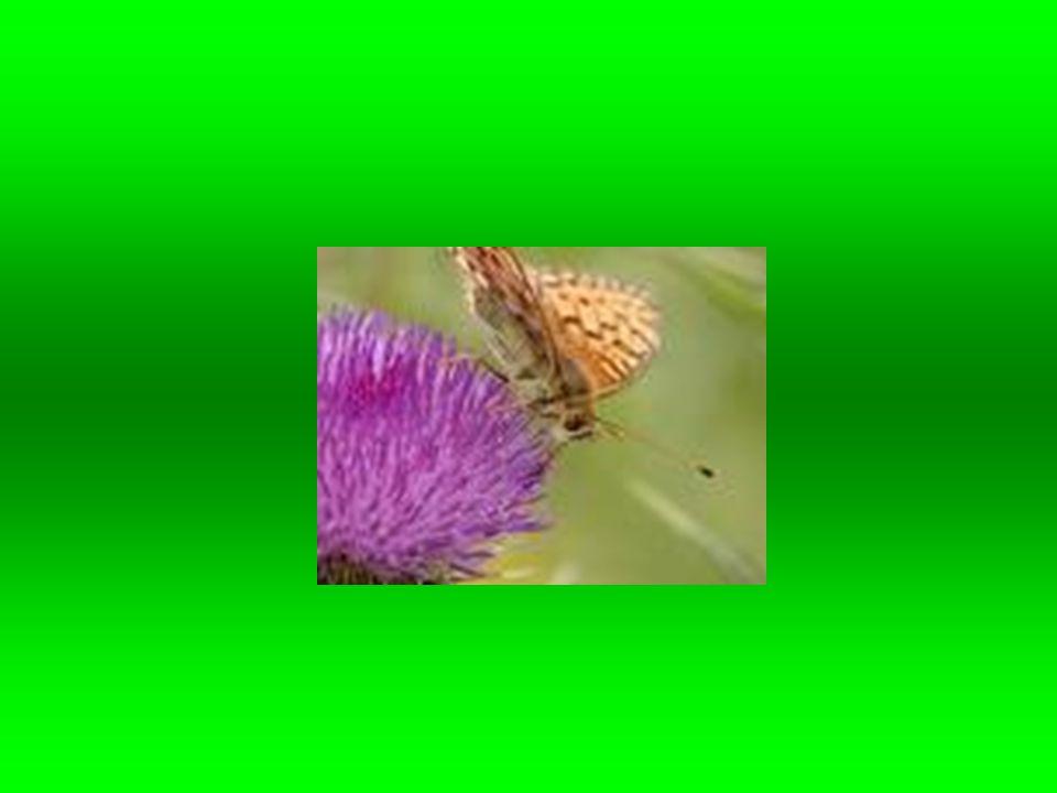 Dalším znakem motýlů je savé ústní ústrojí dospělců.