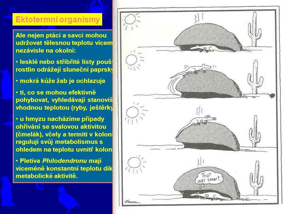 Ektotermní organismy Ale nejen ptáci a savci mohou udržovat tělesnou teplotu víceméně nezávisle na okolní: lesklé nebo stříbřité listy pouštních rostlin odrážejí sluneční paprsky mokrá kůže žab je ochlazuje ti, co se mohou efektivně pohybovat, vyhledávají stanoviště s vhodnou teplotou (ryby, ještěrky) u hmyzu nacházíme případy ohřívání se svalovou aktivitou (čmelák), včely a termiti v koloniích regulují svůj metabolismus s ohledem na teplotu uvnitř kolonie Pletiva Philodendronu mají víceméně konstantní teplotu díky své metabolické aktivitě.