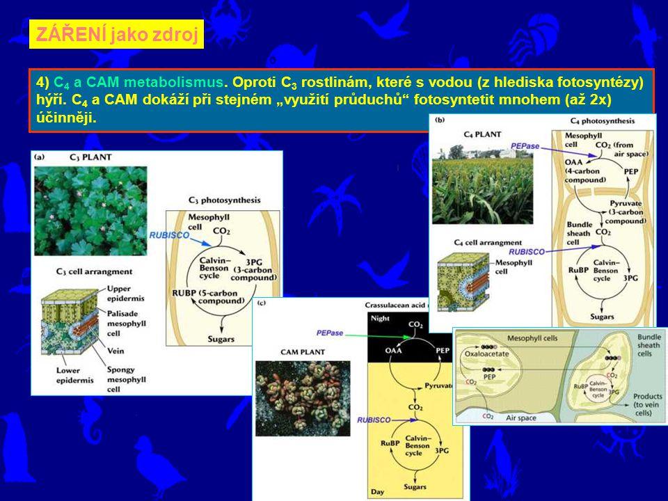 """ZÁŘENÍ jako zdroj 4) C 4 a CAM metabolismus. Oproti C 3 rostlinám, které s vodou (z hlediska fotosyntézy) hýří. C 4 a CAM dokáží při stejném """"využití"""