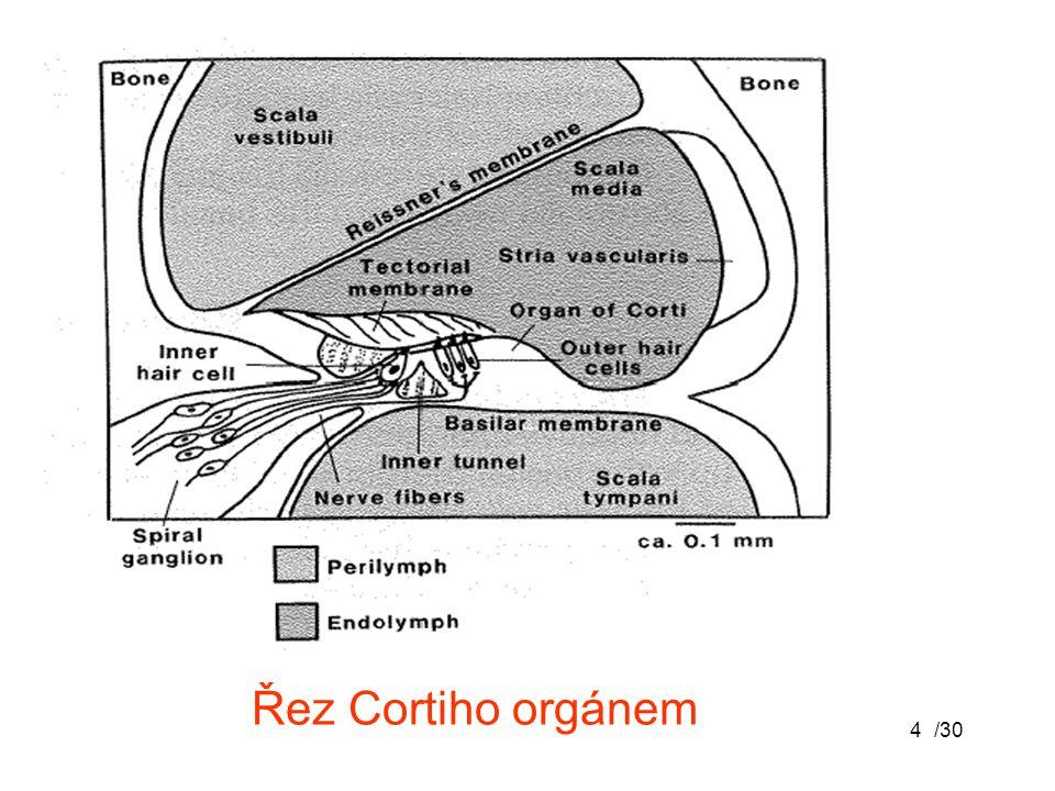 /304 Řez Cortiho orgánem