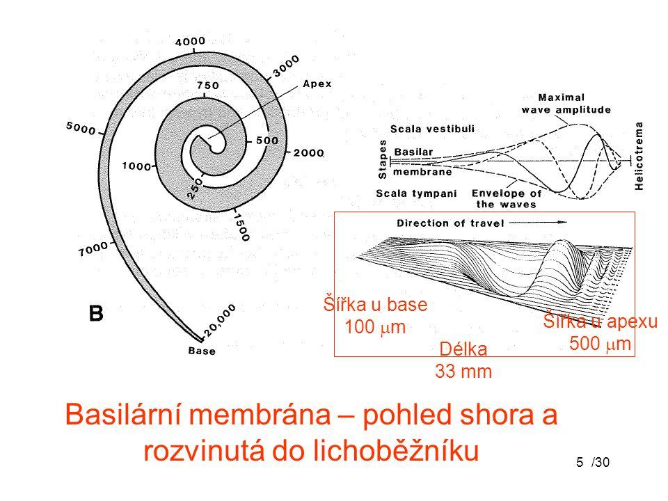/305 Basilární membrána – pohled shora a rozvinutá do lichoběžníku Délka 33 mm Šířka u base 100  m Šířka u apexu 500  m