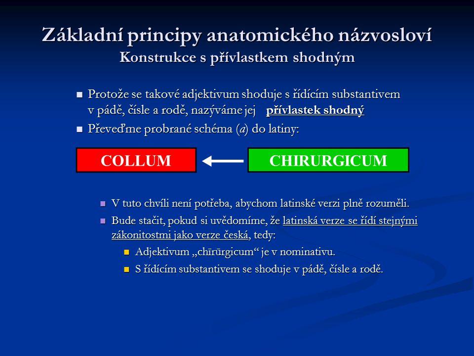 Základní principy anatomického názvosloví Konstrukce s přívlastkem shodným Protože se takové adjektivum shoduje s řídícím substantivem v pádě, čísle a
